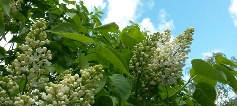 White lilacs. Photo: Susanna Kristersson